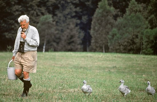 Konrad Lorenz being followed by greylag geese (Anser anser), 1960
